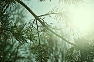 conifer-1174413_640