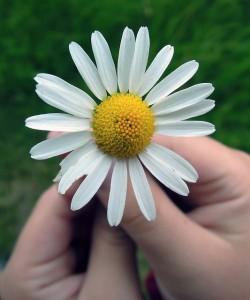daisy-847045_640