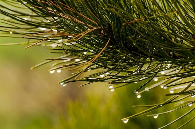 pine-needles-1110338_640