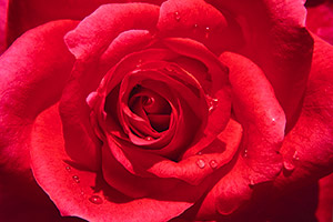 red-rose@300w