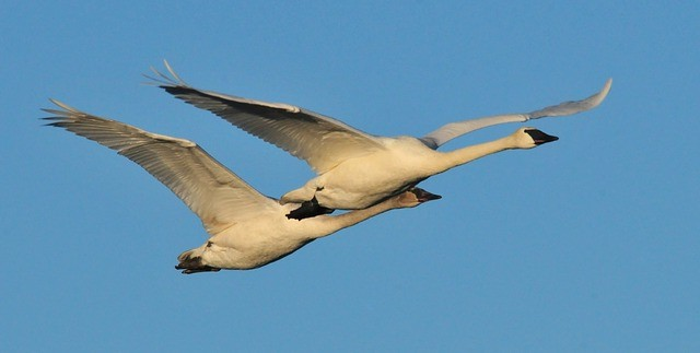 trumpeter-swans-938415_640